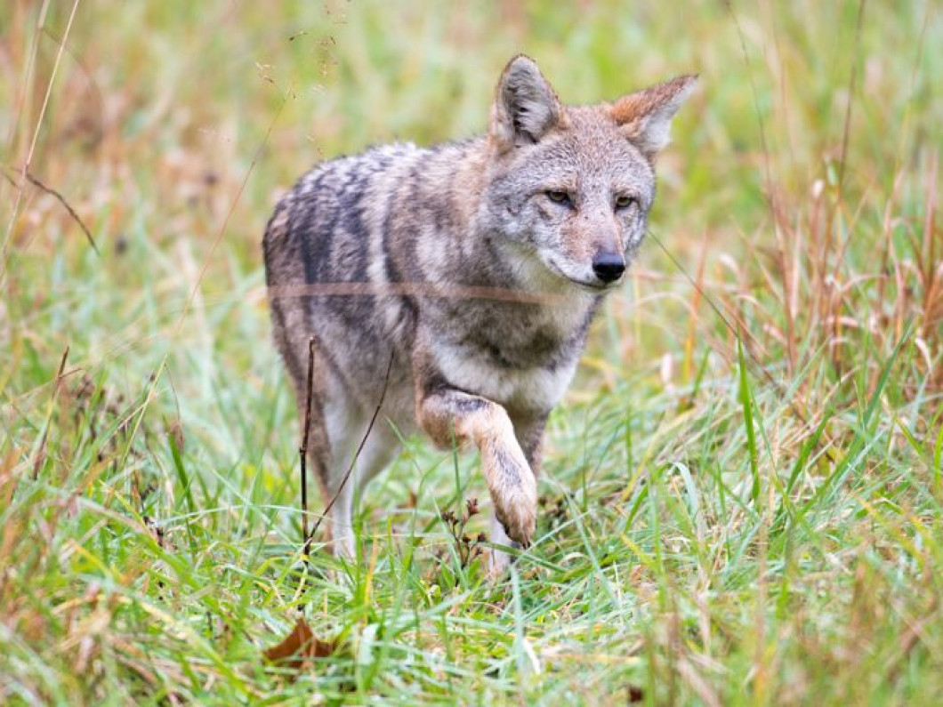 Coyote Removal and Control in Roscoe and Rockford, IL